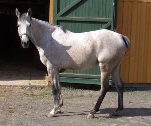 Stute-Horse